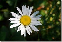 Kulturlandweg Sieg - Blume
