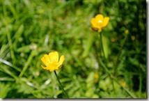 Pulvermühlenweg Sieg - Blumen am Wegesrand