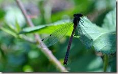 Pulvermühlenweg Sieg - Libelle