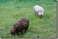 Erlebnisweg Burgweg - Schafe