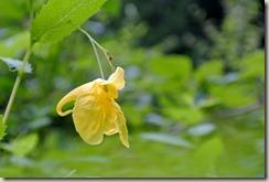 Traumpfad Saynsteig - gelbe Blüte