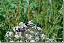 Traumpfad Virne-Burgweg - Schmetterlinge