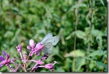 Traumpfad Virne-Burgweg - Schmetterling