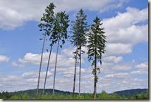 Traumpfad Virne-Burgweg - vier Bäume