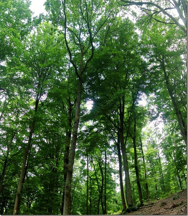 Veldenz Wanderweg Etappe 1 - Wald beim Abstieg nach Ulmet