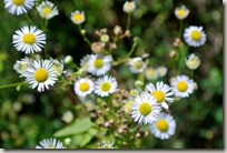 Veldenz Wanderweg - Gänseblümchen