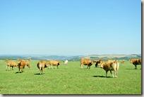 Veldenz Wanderweg Ausbacherhof-Lauterecken: Weide mit Kühen