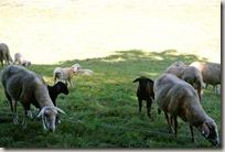 Veldenz Wanderweg Ausbacherhof-Lauterecken: Schafe