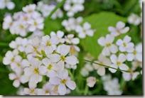 Traumpfad Höhlen- und Schluchtensteig - weiße Blumen