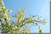Streuobstwiesenweg - Apfelblüte