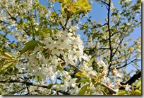 Streuobstwiesenweg - Blütenpracht