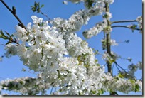 Streuobstwiesenweg - Weiße Blüten