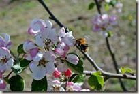 Streuobstwiesenweg - Biene bei der Arbeit
