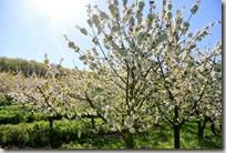 Streuobstwiesenweg - Blühender Baum im Sonnenlicht