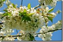 Streuobstwiesenweg - dicke Blütendolden