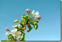 Streuobstwiesenweg - Blüte vor blauem Himmel