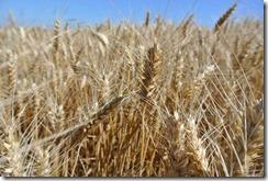 Moselsteig Etappe 1 - Getreide