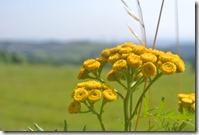 Moselsteig Konz - Trier - Gelbe Blüte