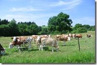 Moselsteig Konz - Trier -Kühe