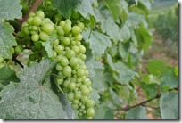 Moselsteig–Etappe 3: Nittel–Konz - Weinrebe
