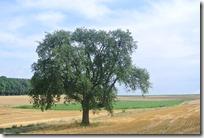 Moselsteig–Etappe 3: Nittel–Konz - Baum in den Feldern