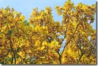 Traumpfad Bleidenberger Ausblicke - strahlendes Gelb