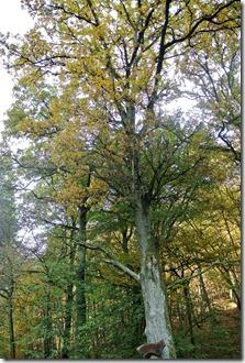 Traumpfad Bleidenberger Ausblicke - mächtige Bäume