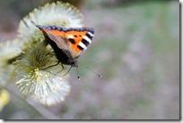 Traumpfad Bergheidenweg - Schmetterling