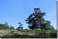 Traumpfad Bergheidenweg - Kiefern