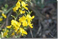 Cochemer Ritterrunde - gelbe Blüten