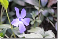 Cochemer Ritterrunde - lila Blüte
