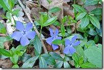 Cochemer Ritterrunde - blaue Blüte