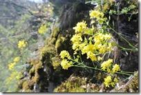 Cochemer Ritterrunde - gelbe Blüte