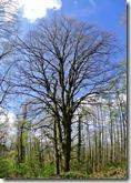 Rheinsteig (Rengsdorf - Sayn) - markanter Baum