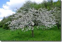 Rheinsteig (Rengsdorf - Sayn) - Obstbaumblüte