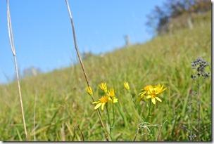 Traumpfädchen Riedener Seeblick - gelbe Blumen am Wegesrand