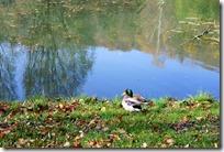 Traumpfädchen Riedener Seeblick - Ente am Seeufer