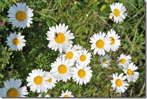 Himmelsleiter Brohl-Lützing - Blumen