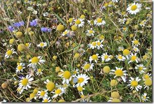 Traumpfad Hochbermeler - Wildblumen