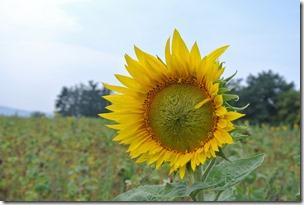 Traumpfad Hatzenporter Laysteig - Sonnenblume