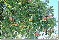 Traumpfädchen Spayer BlickinsTal - Apfelbaum